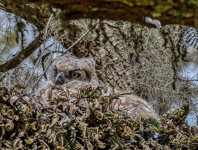 This Owlet has itself a bloody nose and well hidden in a large Oak tree.