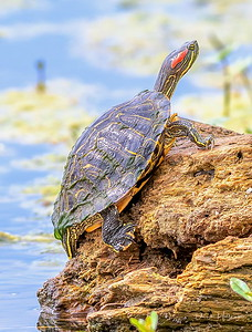 "Red-eared Turtle climbs atop a log to ""lay-out"""