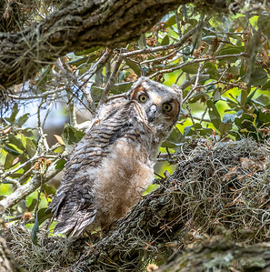 Fledging owl at Brazos Bend State Park