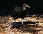 American Black Vulture and Armadillo