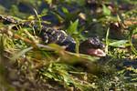 Gator Hatchling