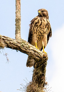 Hawk stare down