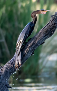 Anhinga dries out after another fish swallow