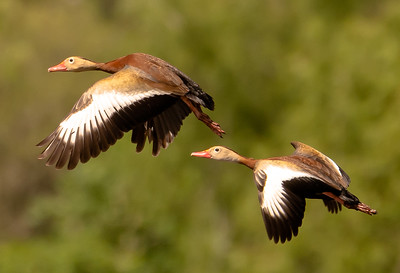 Whistlers take flight