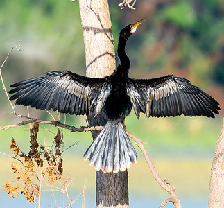 Colorful Anhinga dries in rising sun