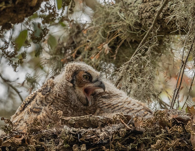 Great Horned Owl (Bubo virginianus) chick.  Brazos Bend State Park.  Needville, Texas.