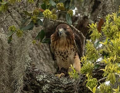 Aplomado Falcon (Falco femoralis.  Brazos Bend State Park.  Needville, Texas.