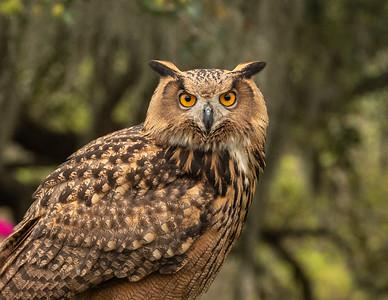 Eurasian eagle-owl (Bubo bubo).  Brazos Bend State Park.  Needville, Texas.