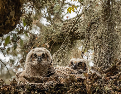 Great Horned Owl (Bubo virginianus) chicks.  Brazos Bend State Park.  Needville, Texas.