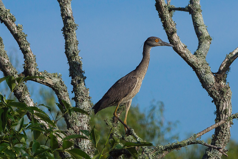 Yellow-crowned Night Heron, 1st Summer.