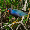 Purple Gallinule shot at Brazos Bend State Park.