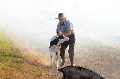 A farmer pulls a cow away from smoke from a barn fire in Gregg Township on Saturday afternoon.