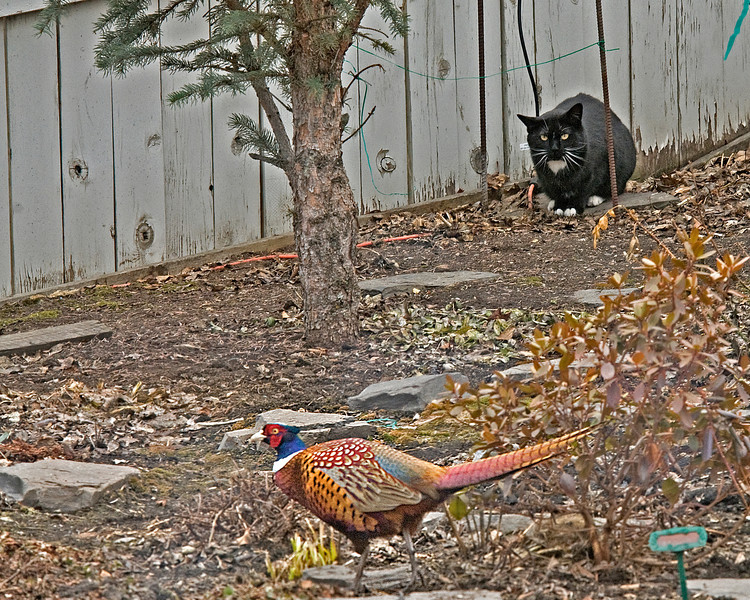 The pheasant was aware of the cat and amazingly walked by unscathed.  The cat had several encounters with the pheasant but never attacked it.