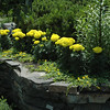 Marigolds and Creeping Jenny (perennial)