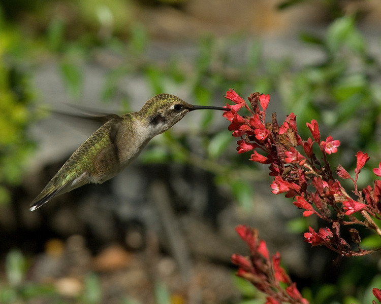 Ruby-throated hummingbird on Coral Bells