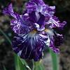 Batik Bearded Iris