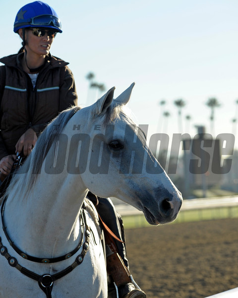 Caption: Bridleless pony<br /> Breeders' Cup morning works at Santa Anita near Arcadia, California, on Oct. 30, 2012.<br /> BCRACES2012 WorksTues2 image271<br /> Photo by Anne M. Eberhardt