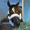 Mucho Macho Man settles into his stall, for his flight from New York to California for the Breeders' Cup...<br /> © 2012 Rick Samuels/ The Blood-Horse