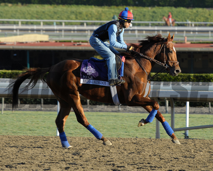 Caption: Animal Kingdom<br /> Breeders' Cup morning works at Santa Anita near Arcadia, California, on Oct. 29, 2012.<br /> BCRACES2012 WorksMonday1 image424<br /> Photo by Anne M. Eberhardt