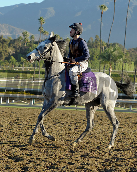 Caption: Sky Lantern<br /> Breeders' Cup morning works at Santa Anita near Arcadia, California, on Oct. 30, 2012.<br /> BCRACES2012 WorksTues2 image250<br /> Photo by Anne M. Eberhardt