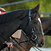 Caption: The Fugue<br /> Breeders' Cup morning works at Santa Anita near Arcadia, California, on Oct. 31, 2012.<br /> BCRACES2012 WorksWed2 image448<br /> Photo by Anne M. Eberhardt