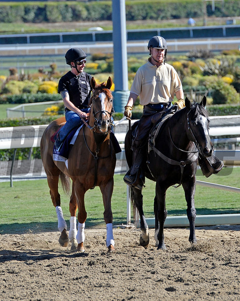 Caption:  Wise Dan coming off turf course<br /> Breeders' Cup horses and connections at Santa Anita near Acadia, California, preparing for Breeders' Cup raceways on Nov. 1 and Nov. 2, 2013.<br /> BCWorks3Jpegs_10_31_13 image077<br /> Photo by Anne M. Eberhardt