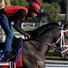 Caption:  My Conquestadory<br /> Breeders' Cup horses and connections at Santa Anita near Acadia, California, preparing for Breeders' Cup raceways on Nov. 1 and Nov. 2, 2013.<br /> BCWorks1Jpegs_10_29_13 image565<br /> Photo by Anne M. Eberhardt