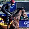 Caption:  Declaration of War<br /> Breeders' Cup horses and connections at Santa Anita near Acadia, California, preparing for Breeders' Cup raceways on Nov. 1 and Nov. 2, 2013.<br /> BCWorks1Jpegs_10_31_13 958Photo by Anne M. Eberhardt
