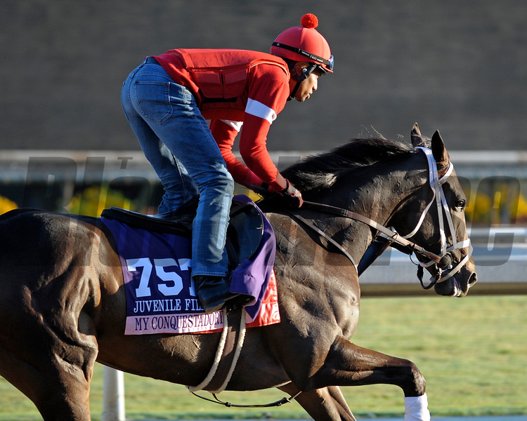 Caption:  My Conquestadory<br /> Breeders' Cup horses and connections at Santa Anita near Acadia, California, preparing for Breeders' Cup raceways on Nov. 1 and Nov. 2, 2013.<br /> BCWorks1Jpegs_10_30_13 image203<br /> Photo by Anne M. Eberhardt
