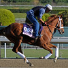 Caption:  Nesso<br /> Breeders' Cup horses and connections at Santa Anita near Acadia, California, preparing for Breeders' Cup raceways on Nov. 1 and Nov. 2, 2013.<br /> BCWorks1Jpegs_10_29_13 image561<br /> Photo by Anne M. Eberhardt