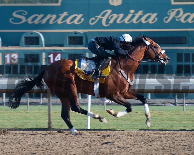 Caption:  Mucho Macho Man<br /> Breeders' Cup horses and connections at Santa Anita near Acadia, California, preparing for Breeders' Cup raceways on Nov. 1 and Nov. 2, 2013.<br /> BCWorks01_10_26_13 RAWimage750<br /> Photo by Anne M. Eberhardt