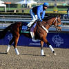 Caption:  Majestic Stride<br /> Breeders' Cup horses and connections at Santa Anita near Acadia, California, preparing for Breeders' Cup raceways on Nov. 1 and Nov. 2, 2013.<br /> BCWorks1Jpegs_10_31_13 image638<br /> Photo by Anne M. Eberhardt