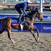 Caption:  Alterite<br /> Breeders' Cup horses and connections at Santa Anita near Acadia, California, preparing for Breeders' Cup raceways on Nov. 1 and Nov. 2, 2013.<br /> BCWorks1Jpegs_10_31_13 image781<br /> Photo by Anne M. Eberhardt