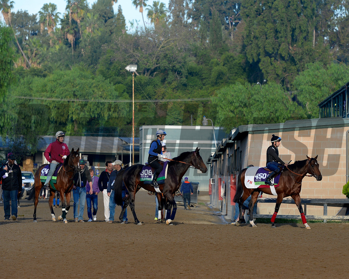 Caption:  Europeans to track, l-r, Veda, Flintshire, Anodin<br /> Scenes at Santa Anita  on Oct. 30, 2014, in preparation for Breeders' Cup  in California.<br /> 1Origs10_30_14 image001<br /> Photo by Anne M. Eberhardt