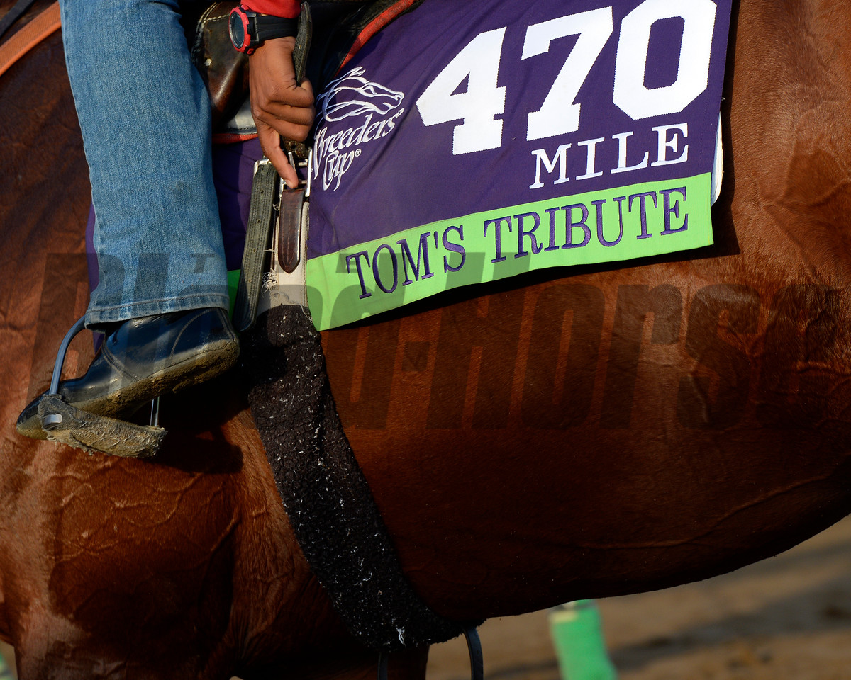 Caption:  Tom's Tribute<br /> Scenes at Santa Anita  on Oct. 30, 2014, in preparation for Breeders' Cup  in California.<br /> 1Origs10_30_14 image981<br /> Photo by Anne M. Eberhardt
