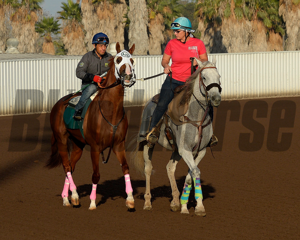 preparing to work<br /> California Chrome with Victor Espinoza works at Los Alamitos Racetrack in California on Oct. 25, 2014. image 5077<br /> Anne M. Eberhardt photo