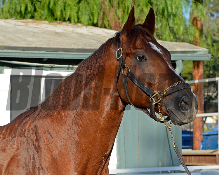 Caption:  Imagining<br /> Scenes at Santa Anita  on Oct. 29, 2014, in preparation for Breeders' Cup  in California.<br /> 1Origs10_29_14 image818<br /> Photo by Anne M. Eberhardt