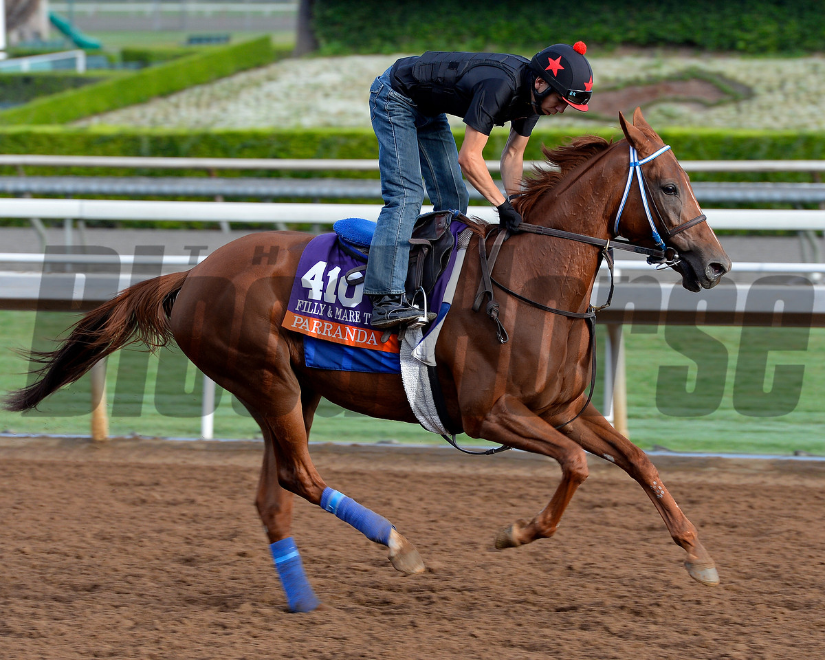 Parranda on Oct. 26, 2014, at Santa Anita in preparation for the Breeders' Cup.<br /> 2Origs10_26_14 image517<br /> Anne M. Eberhardt photo