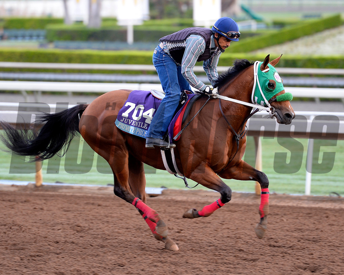 Private Prospect in the Juvenile on Oct. 26, 2014, at Santa Anita in preparation for the Breeders' Cup.<br /> 2Origs10_26_14 image488<br /> Anne M. Eberhardt photo