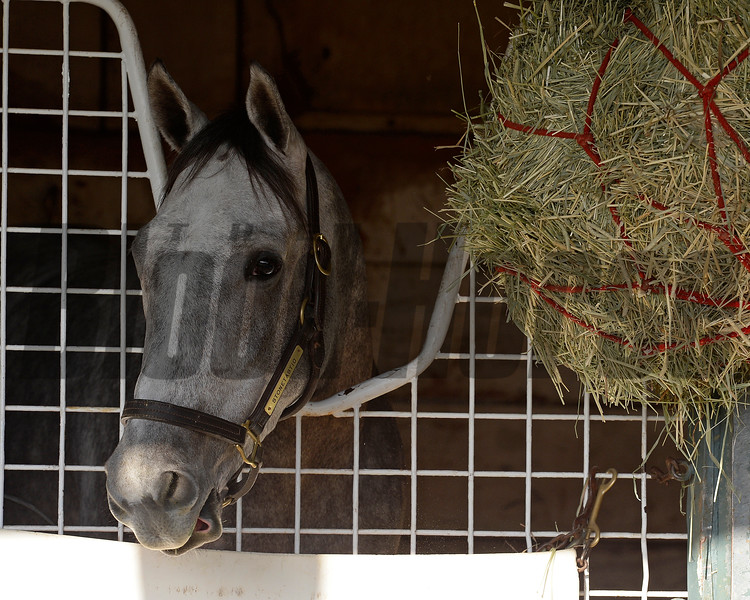 Caption:  Stonetastic<br /> Scenes at Santa Anita  on Oct. 27, 2014, in preparation for Breeders' Cup  in California.<br /> 1Origs10_28_14 image487<br /> Photo by Anne M. Eberhardt