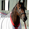 Caption:  Big Macher<br /> Scenes at Santa Anita  on Oct. 29, 2014, in preparation for Breeders' Cup  in California.<br /> 1Origs10_29_14 image812<br /> Photo by Anne M. Eberhardt