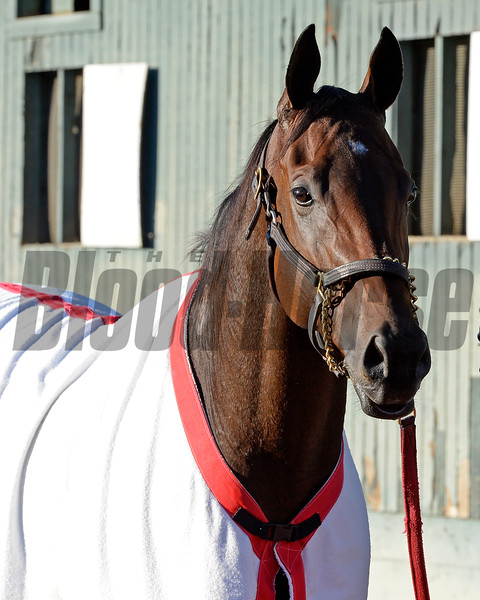 Caption:  Big Macher<br /> Scenes at Santa Anita  on Oct. 29, 2014, in preparation for Breeders' Cup  in California.<br /> 1Origs10_29_14 image808<br /> Photo by Anne M. Eberhardt
