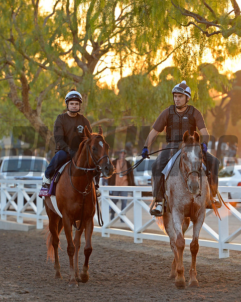 Caption:  Home Run Kitten walks back to barn area from paddock<br /> Scenes at Santa Anita  on Oct. 30, 2014, in preparation for Breeders' Cup  in California.<br /> 1Origs10_30_14 image871<br /> Photo by Anne M. Eberhardt