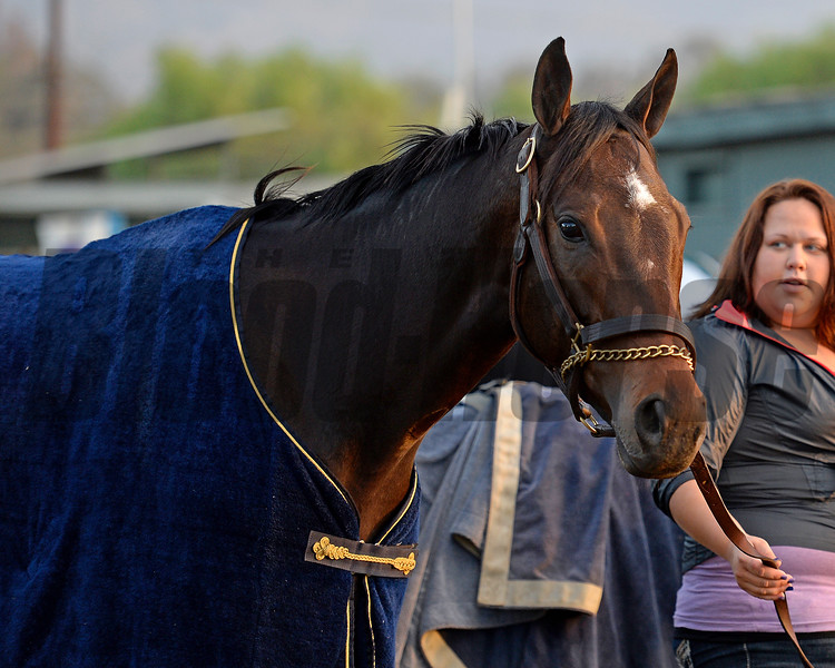 Caption:  Ria Antonia<br /> Scenes at Santa Anita  on Oct. 30, 2014, in preparation for Breeders' Cup  in California.<br /> 1Origs10_30_14 image916<br /> Photo by Anne M. Eberhardt