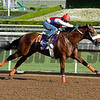 Caption:  Bronzo<br /> Scenes at Santa Anita in preparation for Breeders' Cup  in California on Oct. 27, 2014.<br /> 1Origs10_27_14 image<br /> Photo by Anne M. Eberhardt