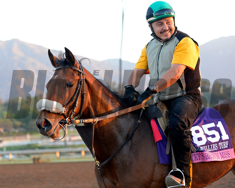 Caption:  Nicky's Brown Miss<br /> Scenes at Santa Anita  on Oct. 27, 2014, in preparation for Breeders' Cup  in California.<br /> 1Origs10_28_14 image147<br /> Photo by Anne M. Eberhardt