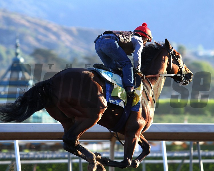AMERICAN PHAROAH in his final workout at Santa Anita before the Breeders' Cup 10.26.15.  Photo: Helen Solomon