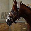 California Chrome<br /> Morning after the Breeders' Cup Classic<br /> 2016 Breeders' Cup on Nov. 6, 2016, in Arcadia, CA.