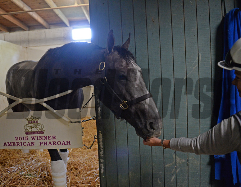 Arrogate gets carrots from Dana Barnes<br /> Morning after the Breeders' Cup Classic<br /> 2016 Breeders' Cup on Nov. 6, 2016, in Arcadia, CA.