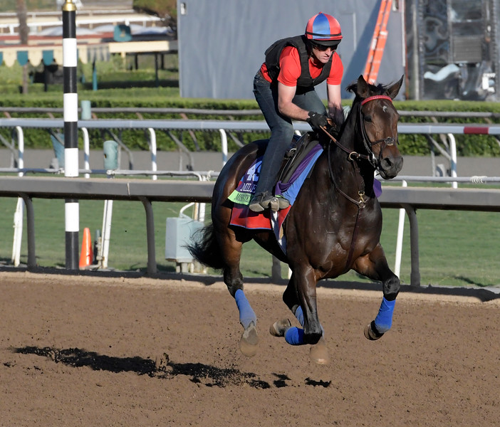 Miss Temple city out for a gallop at Santa Anita Nov. 3, 2016 in preparation for her appearance in the Breeders' Cup in Arcadia, California.  Photo by Skip Dickstein